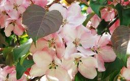 苹果树在开花 春天 免版税库存图片