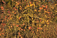 苹果树在秋天 库存照片