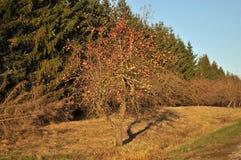 苹果树在秋天 免版税库存图片