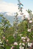 苹果树在Hardanger,挪威 免版税图库摄影