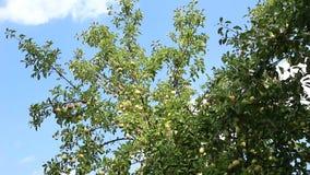 苹果树天空和温暖的微风 股票录像