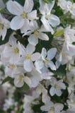 苹果树庭院 库存照片
