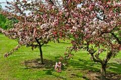 苹果树开花。 免版税库存照片
