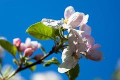 苹果树开花反对蓝天背景 免版税库存照片