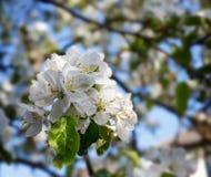 苹果树开花在庭院里 免版税库存照片