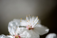 苹果树开花在春天 免版税图库摄影