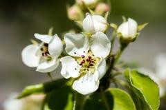 苹果树开花在春天 免版税库存照片