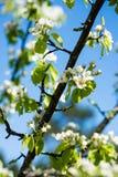 苹果树开花在春天 库存图片