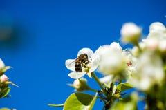 苹果树开花在春天 库存照片