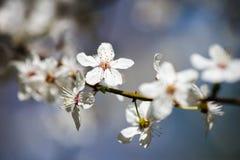 苹果树开花在春天 图库摄影