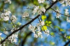 苹果树开花在春天 免版税库存图片