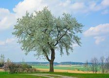 苹果树开花春天 库存图片