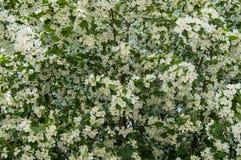 苹果树开花的分支美好的背景在春天庭院里 选择聚焦 免版税库存图片