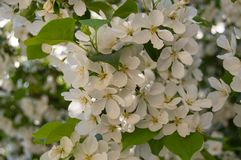 苹果树开花的分支美好的背景在春天庭院里 选择聚焦 库存图片