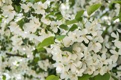 苹果树开花的分支美好的背景在春天庭院里 选择聚焦 图库摄影