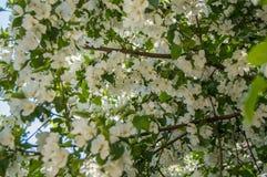 苹果树开花的分支美好的背景在春天庭院里 选择聚焦 免版税库存照片