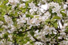 苹果树开花的分支 库存图片