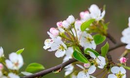 苹果树开花的花  免版税库存图片
