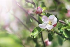 苹果树开花的花 免版税图库摄影