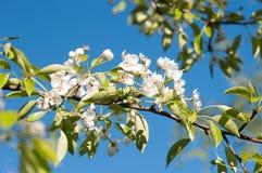 苹果树开花,特写镜头 春天 库存图片