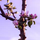 苹果树开花 在紫色太阳背景的桃红色和白花 库存图片