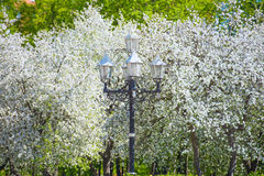 苹果树开花 库存图片