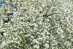 苹果树开花 库存照片