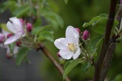 苹果树开花 免版税图库摄影