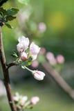 苹果树开花 图库摄影