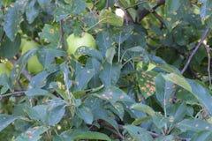 苹果树感染梨铁锈 免版税库存照片