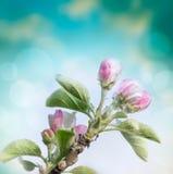 苹果树春天花在被弄脏的蓝色背景的 免版税库存照片