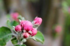 苹果树未打开的花 图库摄影