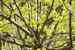 苹果树树冠没有开花的 库存图片