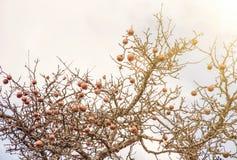 苹果树没有叶子和用果子在冬天,太阳发出光线 图库摄影