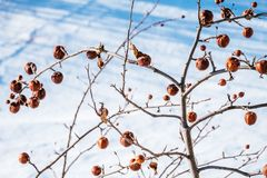 苹果树没有叶子和用果子在冬天 免版税图库摄影