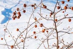 苹果树没有叶子和用果子在冬天 库存照片