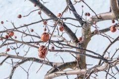 苹果树没有叶子和用果子在冬天 图库摄影