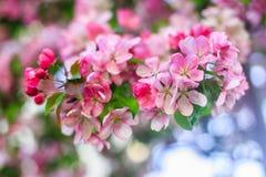苹果树玫瑰色开花 库存照片