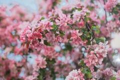 苹果树玫瑰色开花 库存图片