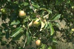 苹果树用几个成熟的苹果 免版税库存照片
