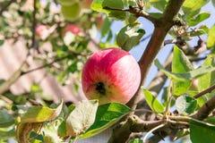 苹果树用红色苹果 苹果树在庭院里 夏天庭院果子 苹果绿色结构树 苹果收获 红色a 免版税库存图片
