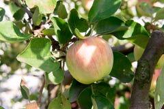 苹果树用红色苹果 苹果树在庭院里 夏天庭院果子 苹果绿色结构树 苹果收获 红色a 库存图片
