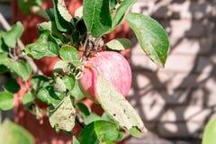 苹果树用红色苹果 苹果树在庭院里 夏天庭院果子 苹果绿色结构树 苹果收获 红色a 库存照片