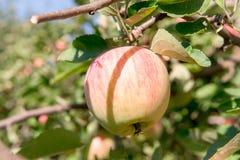 苹果树用红色苹果 苹果树在庭院里 夏天庭院果子 苹果绿色结构树 苹果收获 红色a 图库摄影