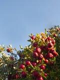 苹果树用许多红色苹果和天空蔚蓝 免版税库存照片