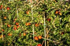 苹果树用采摘的丰足苹果 免版税库存照片