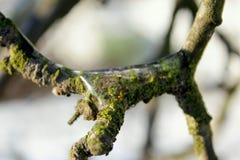 苹果树的冰冷的枝杈特写镜头在冬天 免版税库存图片