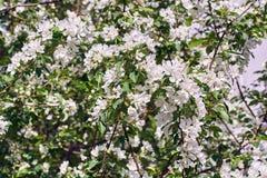 苹果树的分支,很多大白花 库存图片