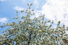 苹果树的开花的分支反对蓝天的 库存图片