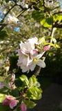 苹果树的开花 免版税图库摄影